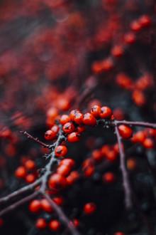 Nadja Jacke, rote Beeren des Feuerdorns im Winter (Deutschland, Europa)