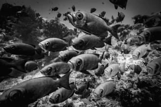 Eva Lorenbeck, Soldatenfische (Indonesien, Asien)