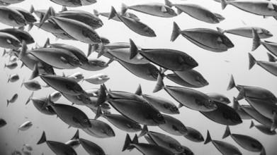 Eva Lorenbeck, Fischschwarm (Indonesien, Asien)