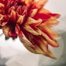 Nadja Jacke, Decorative dahlia nonette macro shot (Germany, Europe)