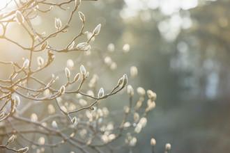 Nadja Jacke, Magnolienknospen im Sonnenlicht (Deutschland, Europa)