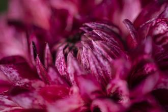 Nadja Jacke, Decorative dahlia macro shot (Germany, Europe)
