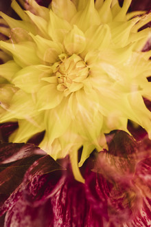 Doppelte Dahlienblüten - fotokunst von Nadja Jacke