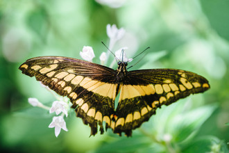 Peter Wey, Schmetterling gelb schwarz gestreift (Schweiz, Europa)