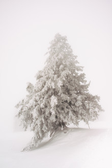 Peter Wey, Single snow covered tree in thick fog in winter (Switzerland, Europe)