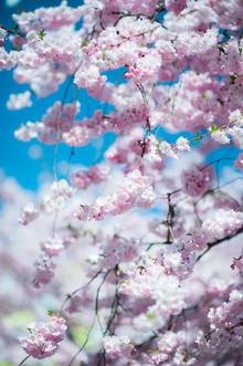 Peter Wey, Rosa japanischer Kirschblüten Baum im Frühjahr (Schweiz, Europa)