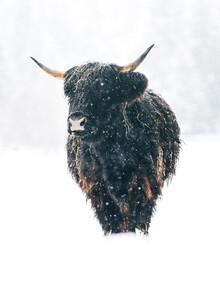 Schottisches Hochlandrind im Winter - fotokunst von Lars Schmucker