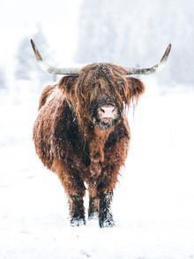 Lars Schmucker, Braune Kuh mit Hörnern im Winter (Österreich, Europa)