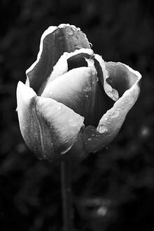 Malte Scherf, Tulpe am Morgen (Deutschland, Europa)