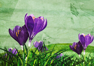 Katherine Blower, Crocus (United Kingdom, Europe)