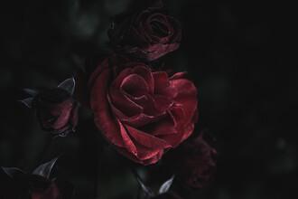 Andrea Hansen, Dunkle Rose (Deutschland, Europa)