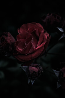 Andrea Hansen, The dark rose (Germany, Europe)