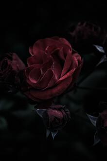 Andrea Hansen, The dark rose (Germany, Europe)