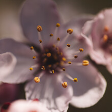 Nadja Jacke, Cherry blossoms macro (Germany, Europe)