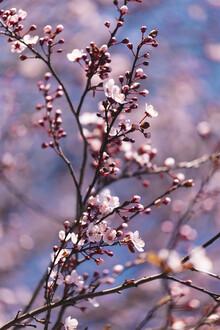 Nadja Jacke, Kirschblüten in der Frühlingssonne (Deutschland, Europa)