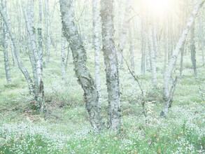 Moorbirken - fotokunst von Felix Wesch