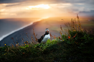Marina Weishaupt, Puffin at the edge of a cliff in Iceland (Island, Europa)