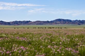 Monika Nutz, Blumenmeer und grasende Kamelherde (Mongolei, Asien)