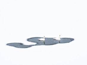 Felix Wesch, Two mute swans (Germany, Europe)