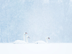 Felix Wesch, Swans in snowfall (Germany, Europe)