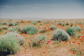 Eva Stadler, Mohnblüte in der Wüste Kysylkum (Usbekistan, Asien)