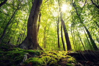 Oliver Henze, Green Beech Forest (Germany, Europe)