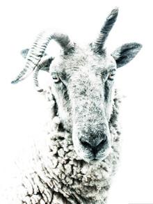 Victoria Frost, Sheep (Großbritannien, Europa)