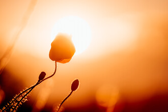 Oliver Henze, Mohnblüte küsst die Sonne (Deutschland, Europa)