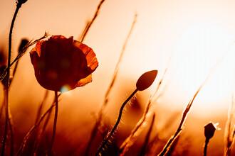 Oliver Henze, Mohnblume im roten Abendlicht (Deutschland, Europa)