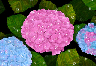 Katherine Blower, Hydrangeas (United Kingdom, Europe)