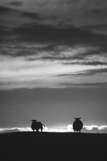 Sebastian Worm, Sheep B&W (Norway, Europe)