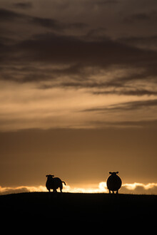 Sebastian Worm, Sheep backlit (Norwegen, Europa)