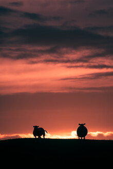 Sebastian Worm, The sunset sheep (Norway, Europe)