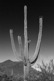 Melanie Viola, SAGUARO NATIONAL PARK Riesiger Saguaro Kaktus (Vereinigte Staaten, Nordamerika)