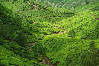 Jml Laufs, Teeplantage in Munnar, Indien (India, Asia)