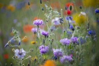 Nadja Jacke, Summer flower meadow with cornflowers (Germany, Europe)