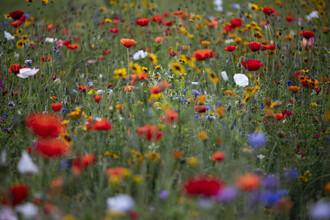 Nadja Jacke, Summer flower meadow with poppy and girl eye (Germany, Europe)