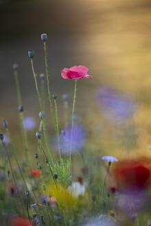 Nadja Jacke, Silk poppy flower shines in the morning sun (Germany, Europe)