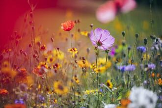 Nadja Jacke, Blumenwiesen aus Wildblumenmischungen (Deutschland, Europa)