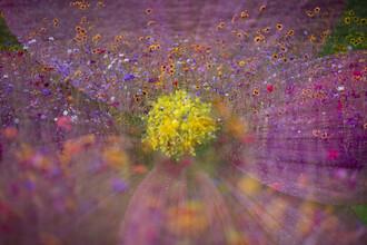 Nadja Jacke, Garden cosmos in wildflower meadow (Germany, Europe)