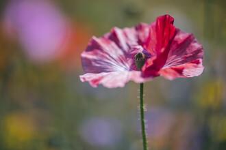 Nadja Jacke, Silk poppy flower in a wildflower meadow (Germany, Europe)