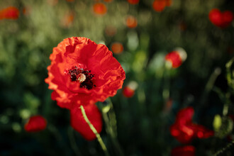 Sascha Faber, Mohn im Sommer (Germany, Europe)