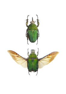 Marielle Leenders, Rarity Cabinet Insect Beetle Green 2 (Netherlands, Europe)