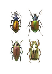 Marielle Leenders, Rarity Cabinet Insect Beetles 4 (Netherlands, Europe)