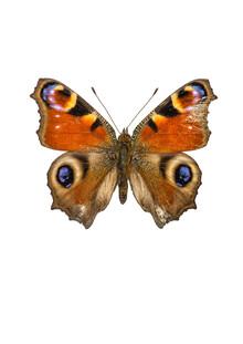 Marielle Leenders, Rarity Cabinet Butterfly Peacock (Niederlande, Europa)