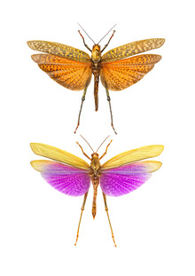 Marielle Leenders, Rarity Cabinet Insects 2 (Niederlande, Europa)