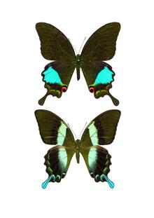 Marielle Leenders, Rarity Cabinet Butterflies Black 2 (Niederlande, Europa)