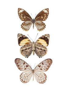 Marielle Leenders, Rarity Cabinet Butterflies, brown 3 (Netherlands, Europe)