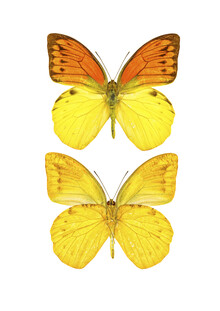 Marielle Leenders, Rarity Cabinet Yellow Butterflies 2 (Netherlands, Europe)