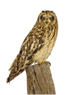 Marielle Leenders, Rarity Cabinet Bird Owl (Netherlands, Europe)